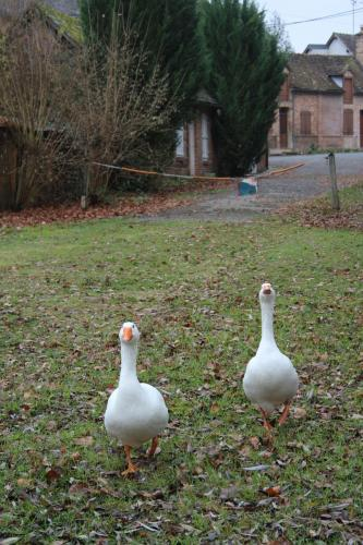 Les deux oies fidèles du quartier